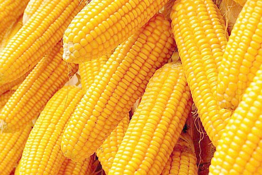 求求求购玉米
