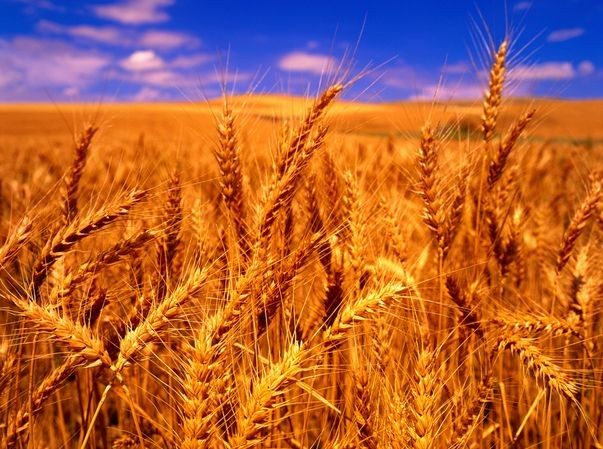 四川蜀窖声誉酿酒公司大量收购小麦高梁玉米