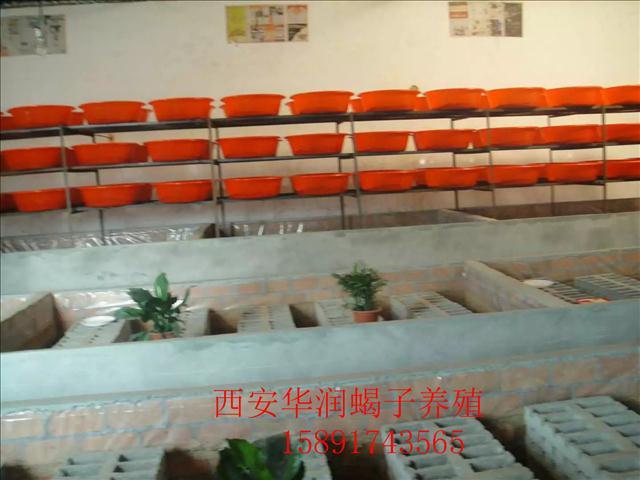 陇南土元养殖方法蝎子价格多少钱一斤生态蝎子养殖基地