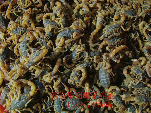 定西土元养殖价格蜈蚣养殖技术和利润蝎子养殖网蝎子养殖场