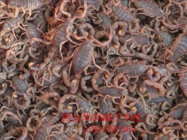 榆林蝎子养殖技术大全蝎子养殖技巧蝎子的养殖技术及市场前景