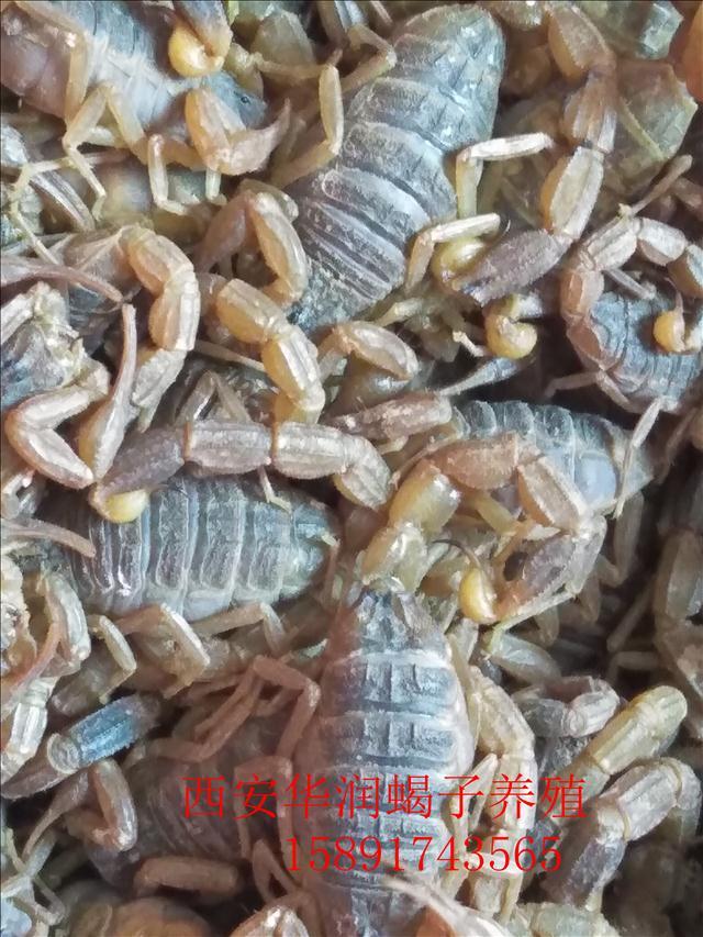 青铜峡蜈蚣养殖方法庆阳蝎子养殖常温养蝎
