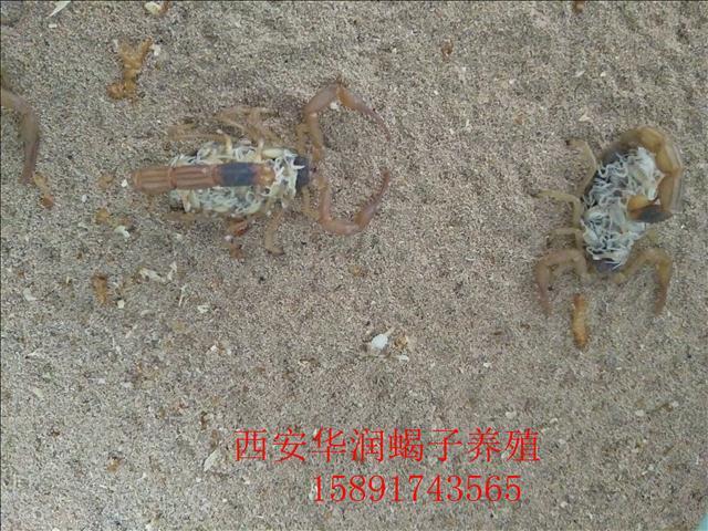 定西土元养殖价格蝎子种苗哪里有卖蝎子的养殖方法